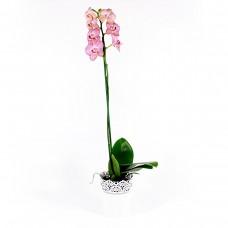 Орхидея флаенопсис